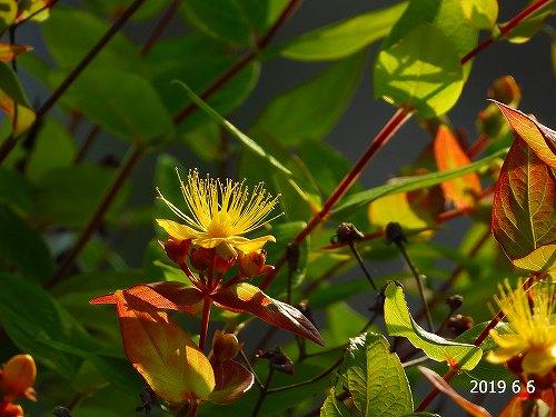 s-黄色の花20190606