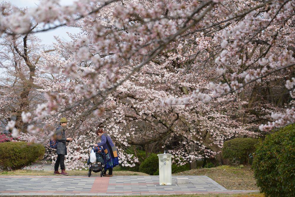桜の下で-3