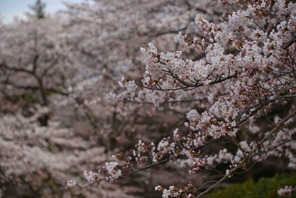 桜の下で-2