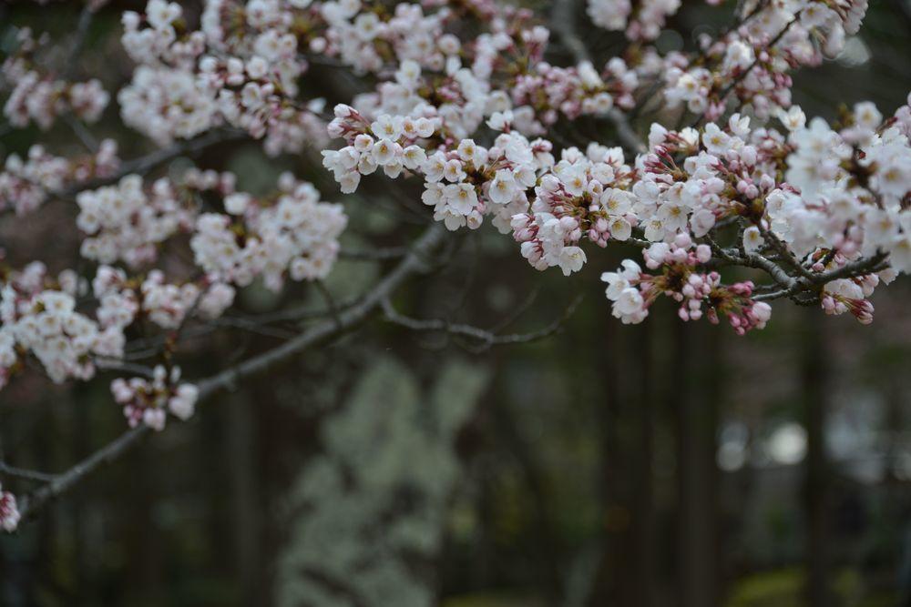 桜の下で-5