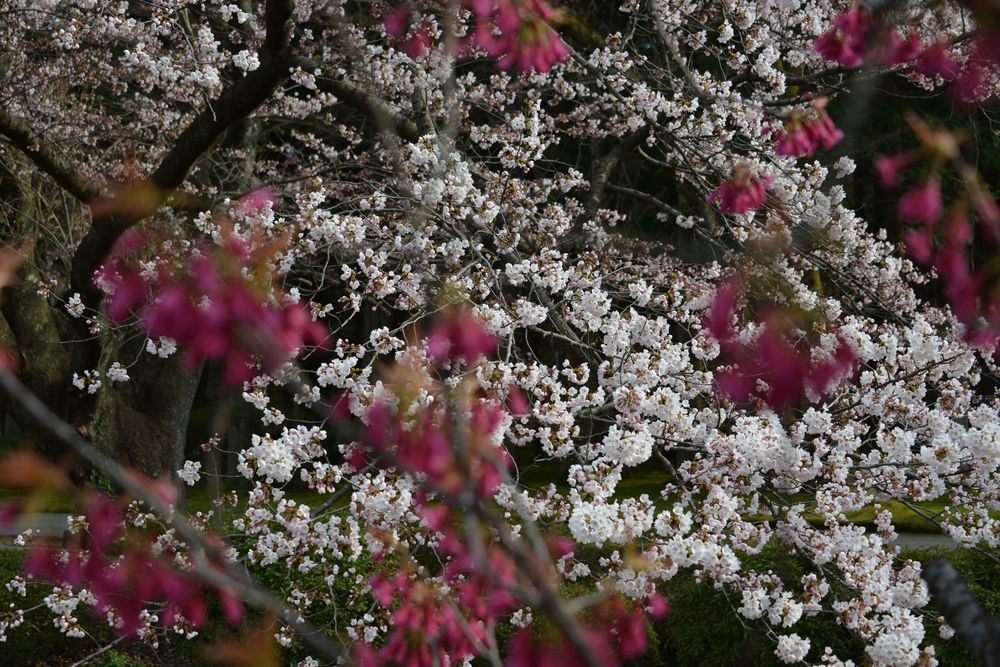 桜の下で-4