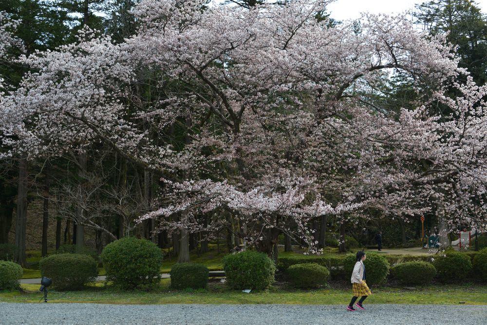 桜の下で-6