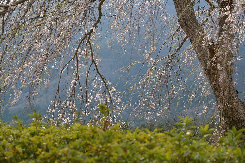 桜の下で-7