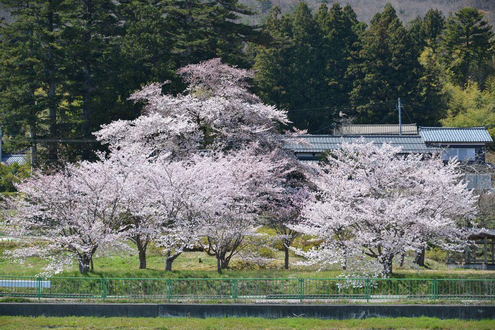 桜の里-1