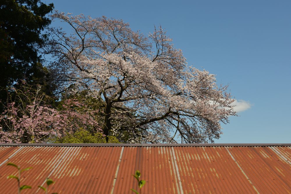 一本の桜-6