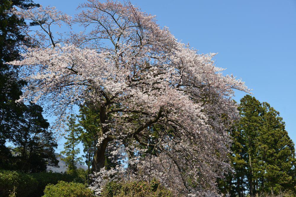 桜咲く―11