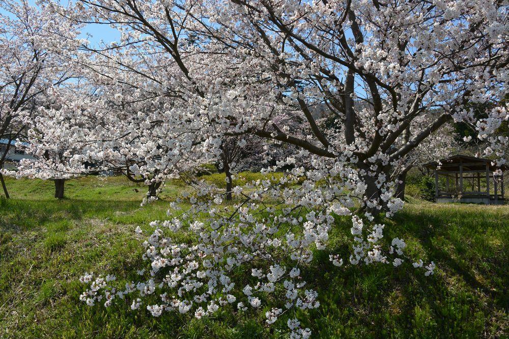 桜の里-2