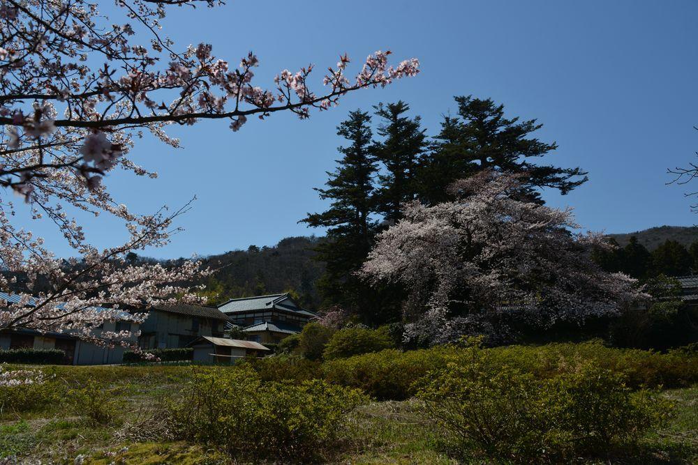 桜の里-3