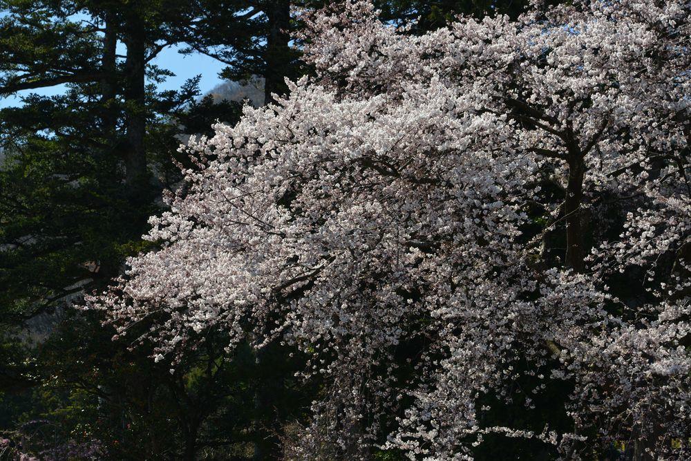 桜の里-5