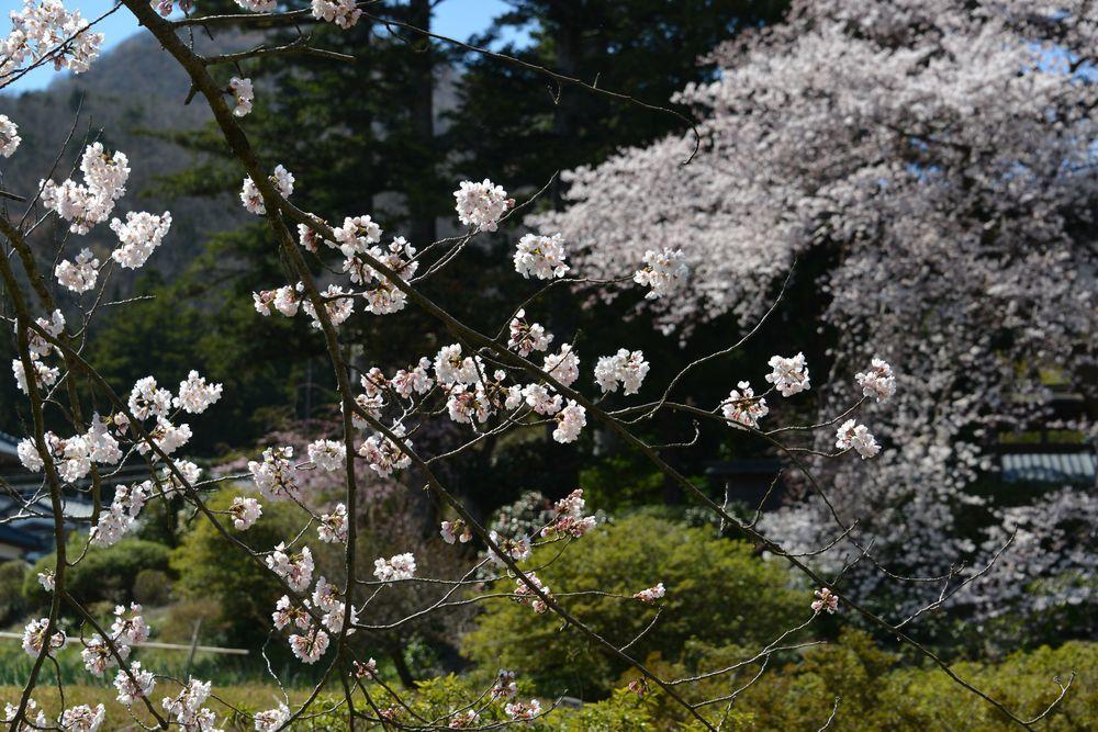 一本の桜-2