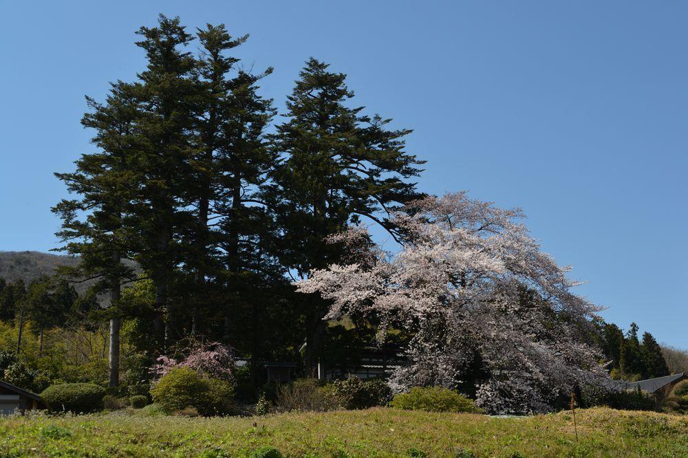 一本の桜-3