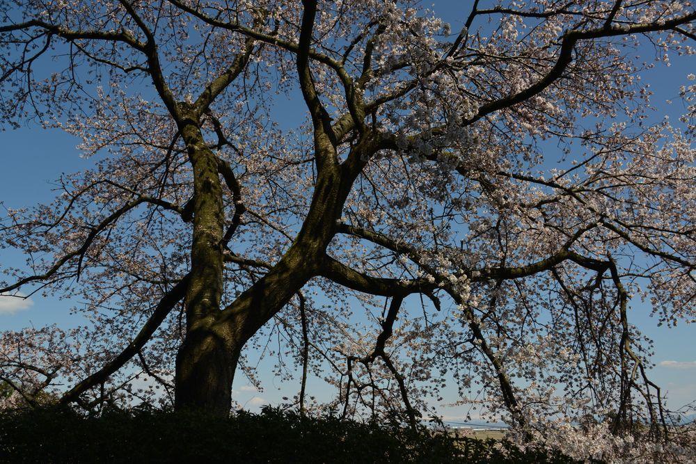 一本の桜-4