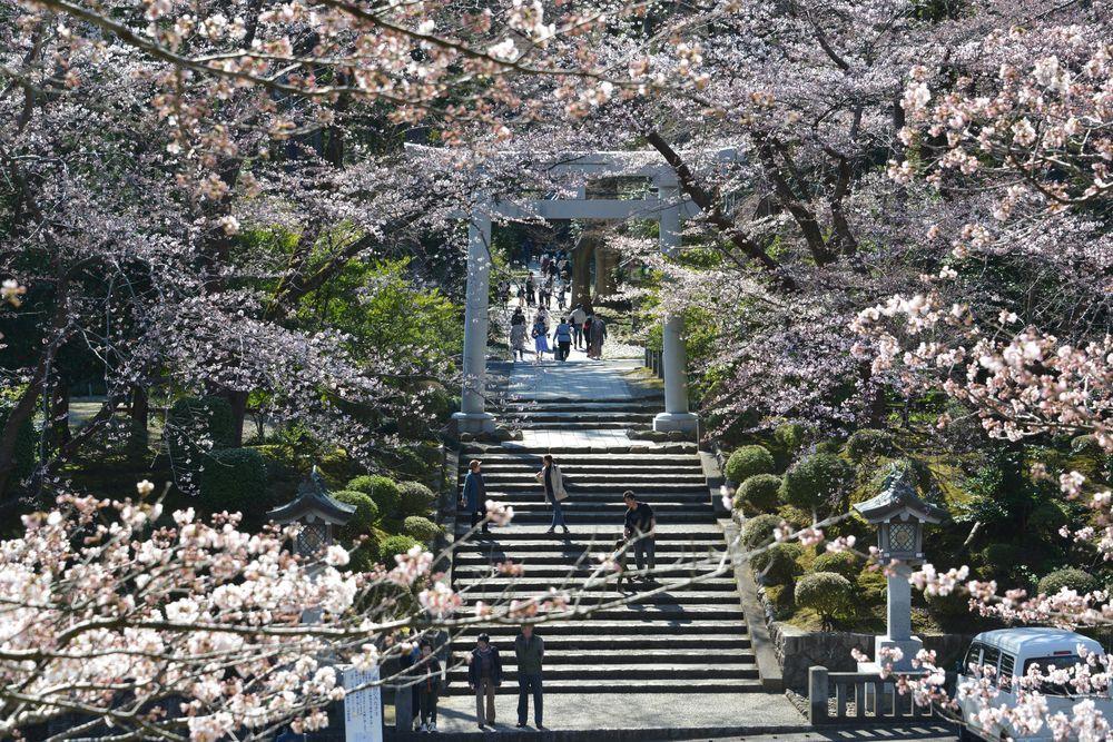 鳥居と桜-1