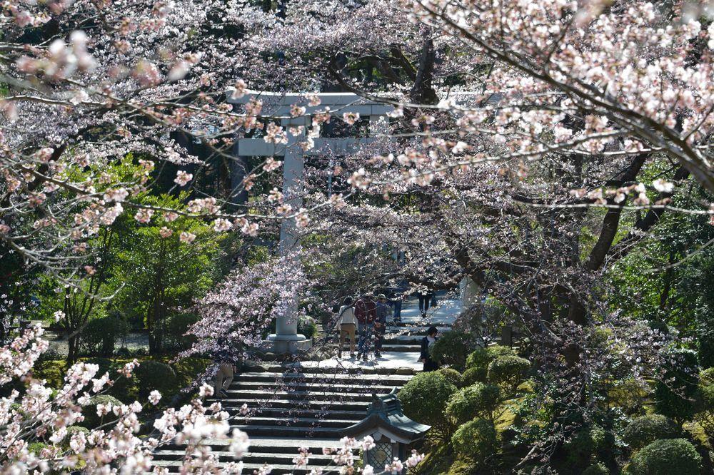 鳥居と桜-2