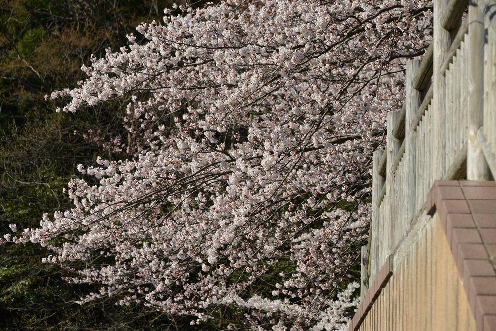 鳥居と桜-6