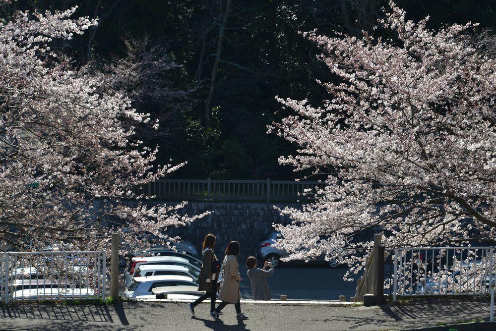 桜アラカルト-1