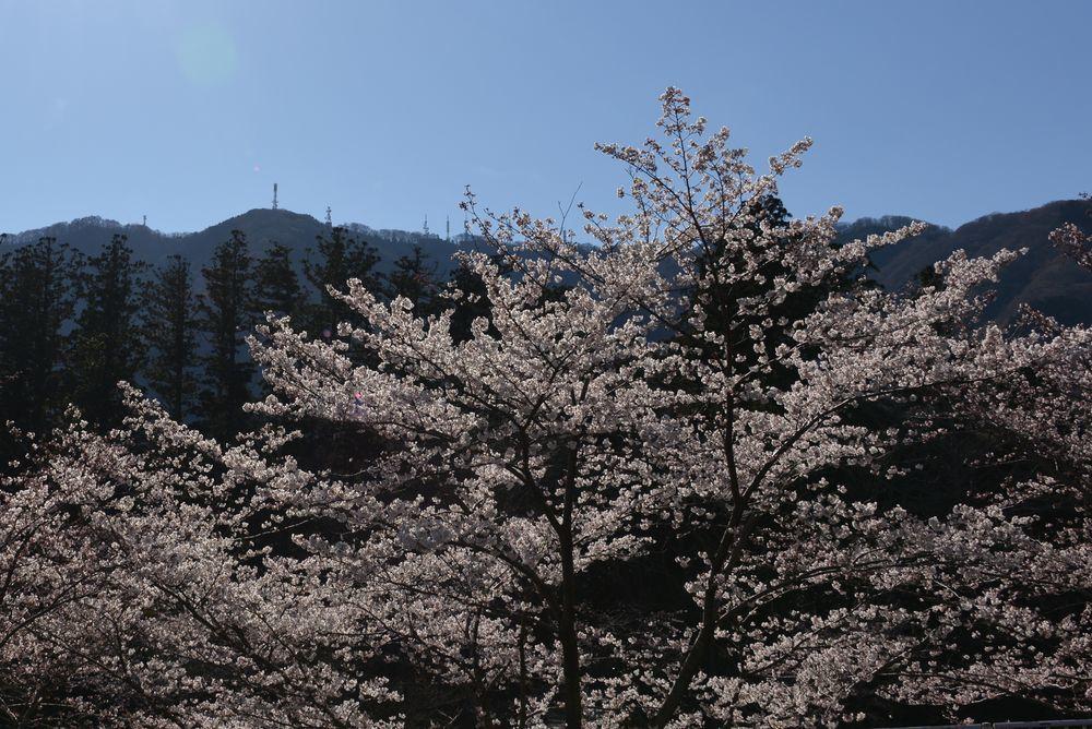 桜アラカルト-2