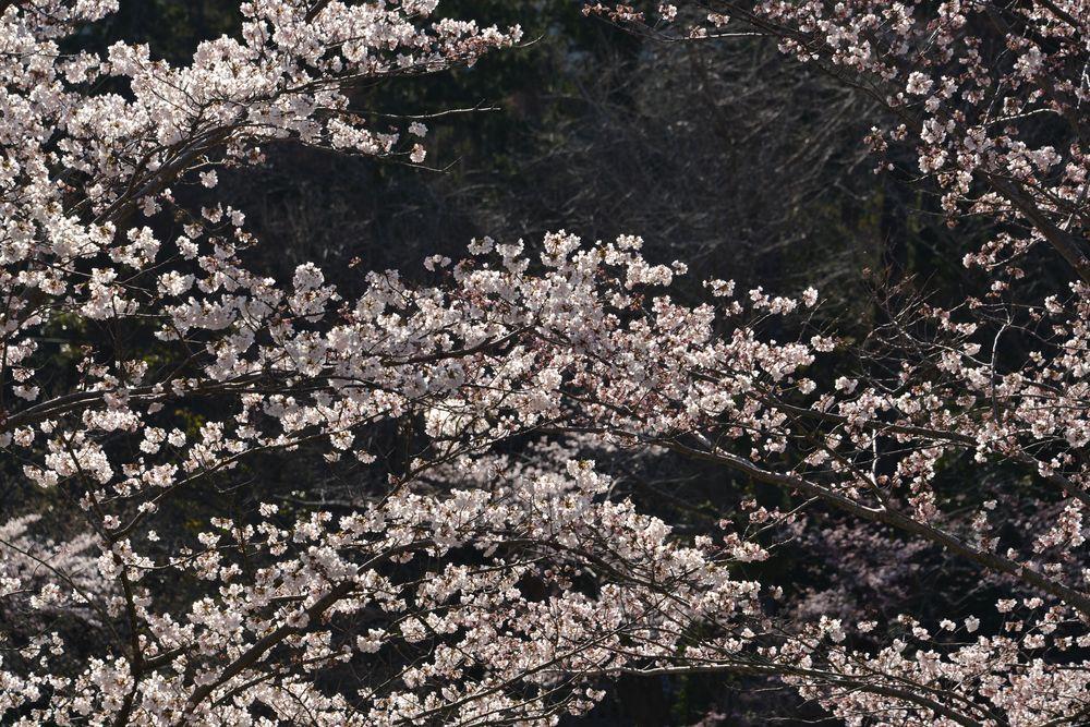 桜アラカルトー3