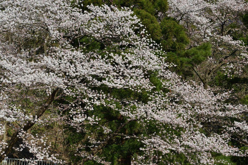 桜アラカルトー4