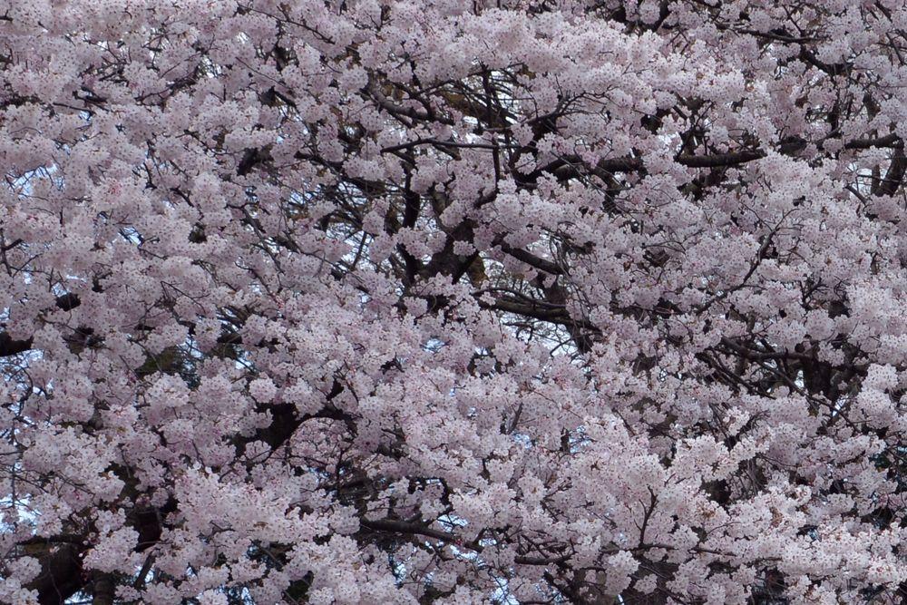 桜のアラカルトー1