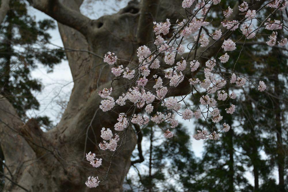 桜のアラカルトー2