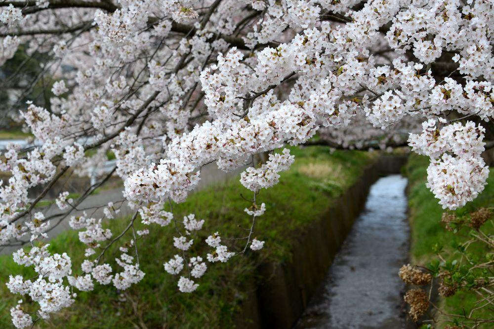 桜のアラカルトー3