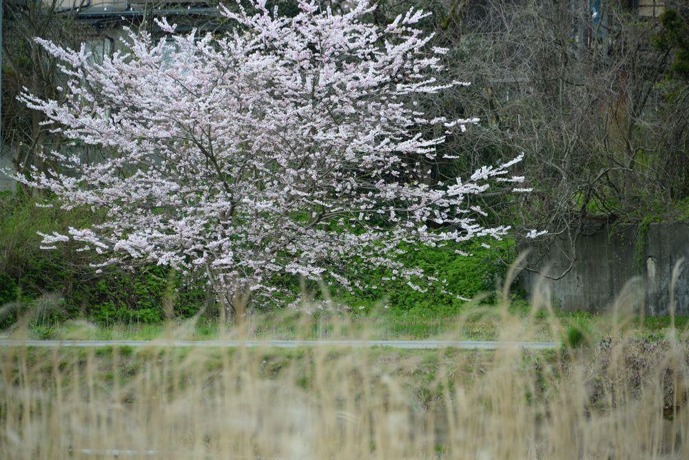 桜のアラカルトー4