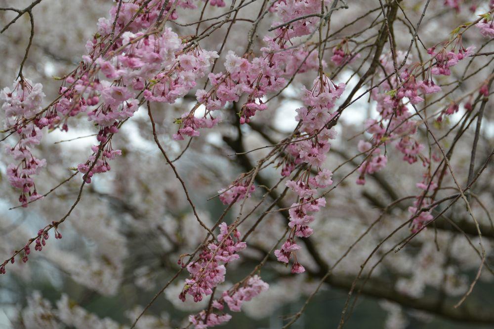 桜のアラカルトー5