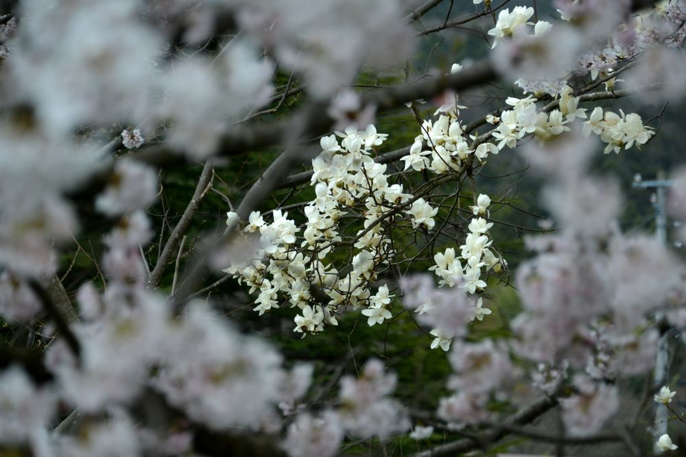 桜のアラカルトー6
