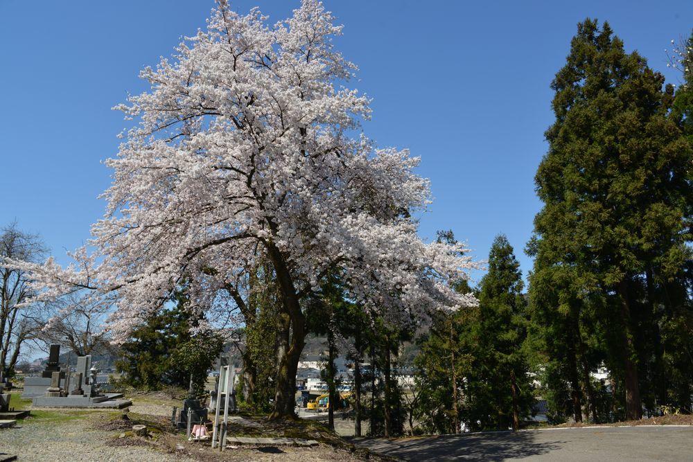 三大寺の桜-1