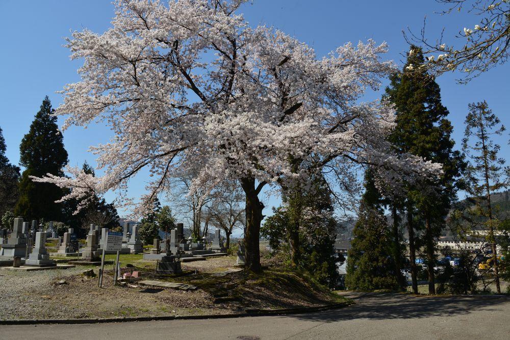 三大寺の桜-2