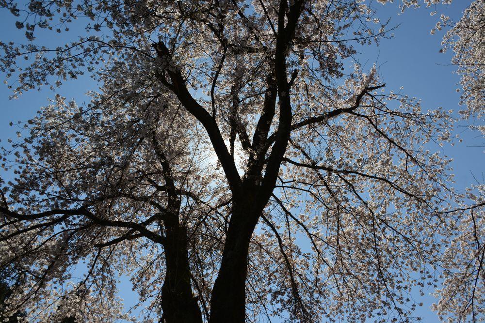 三大寺の桜-3