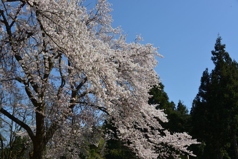 三大寺の桜-4