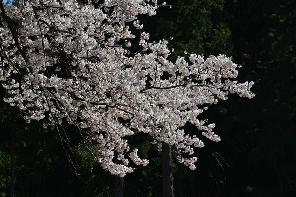 三大寺の桜-5