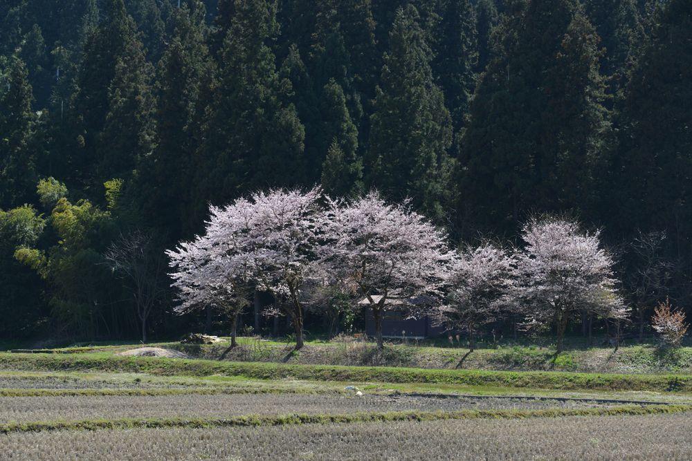 三大寺の桜-6