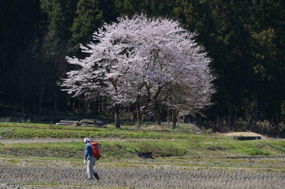 三大寺の桜-7