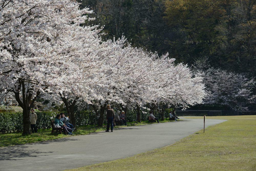 運動公園の桜-1