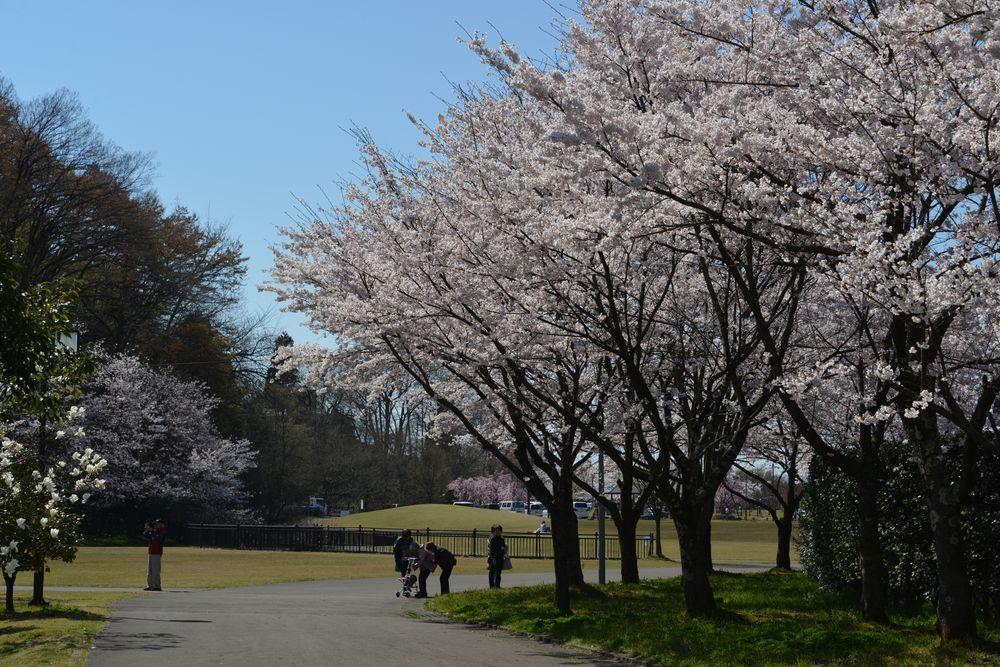 運動公園の桜-2