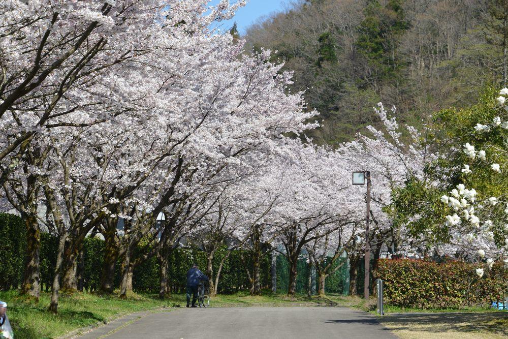 運動公園の桜-3