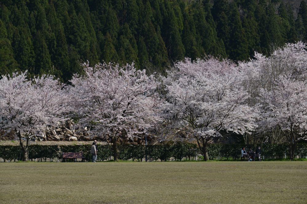 運動公園の桜-4