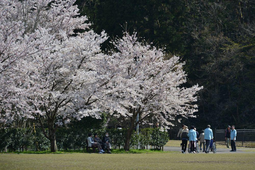 運動公園の桜-5