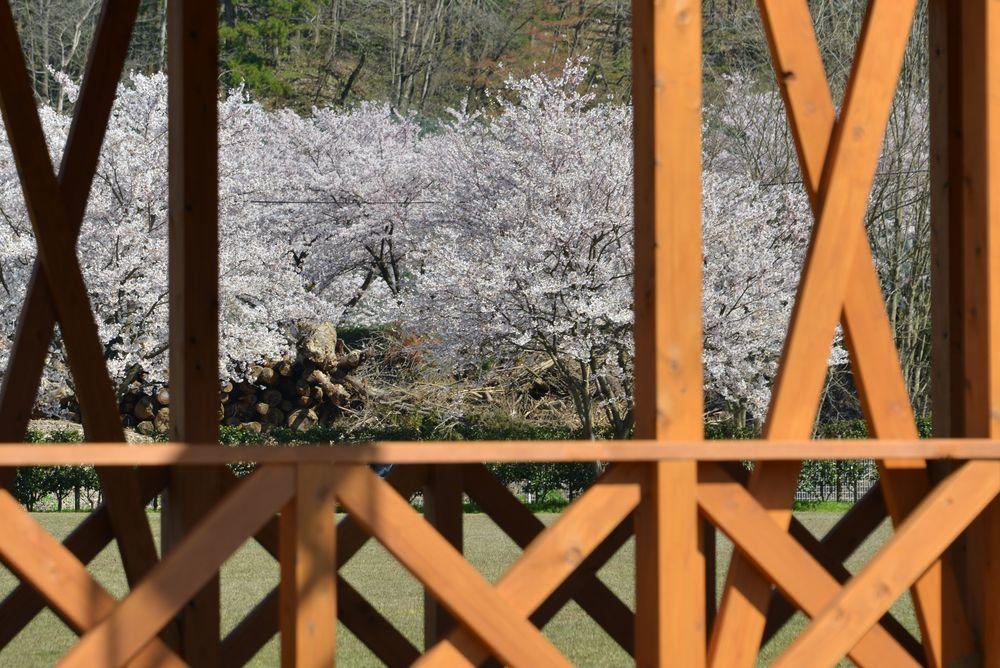 運動公園の桜-6