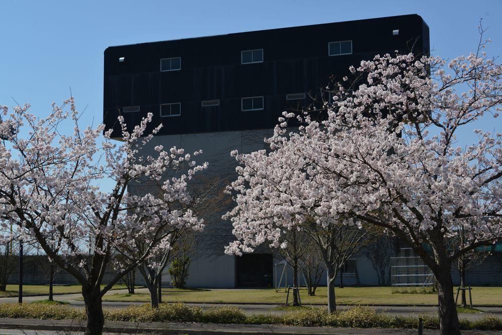 球場周りの桜-1