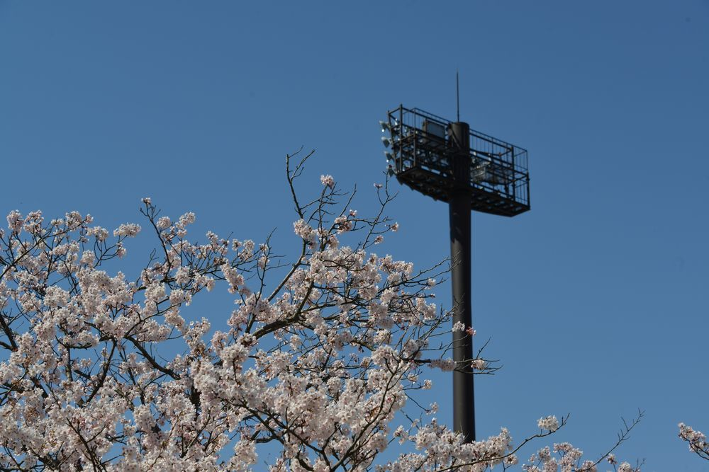 球場周りの桜-2
