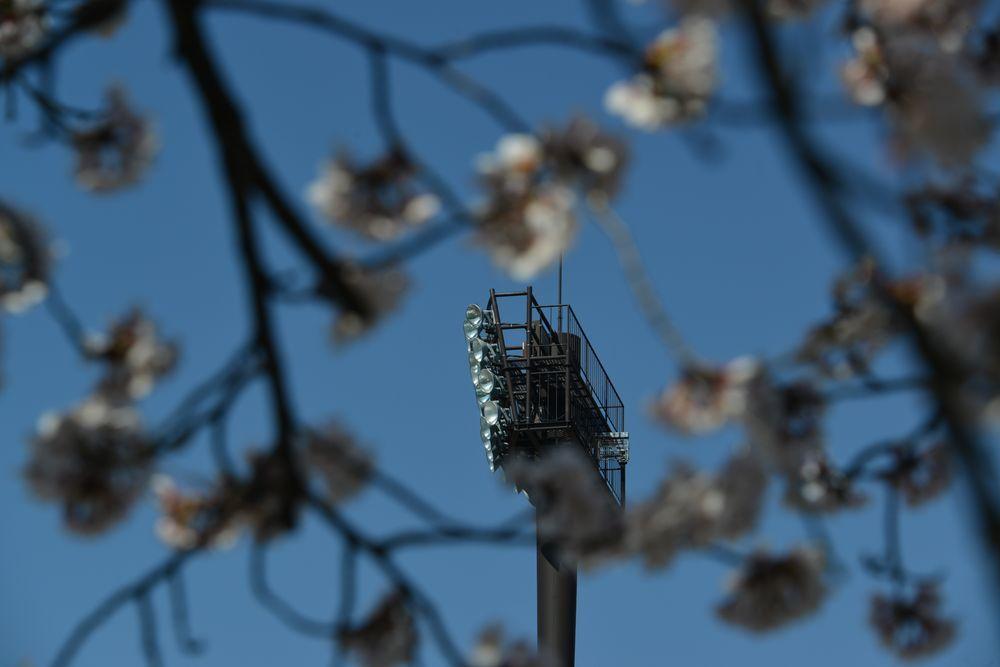 球場周りの桜-3