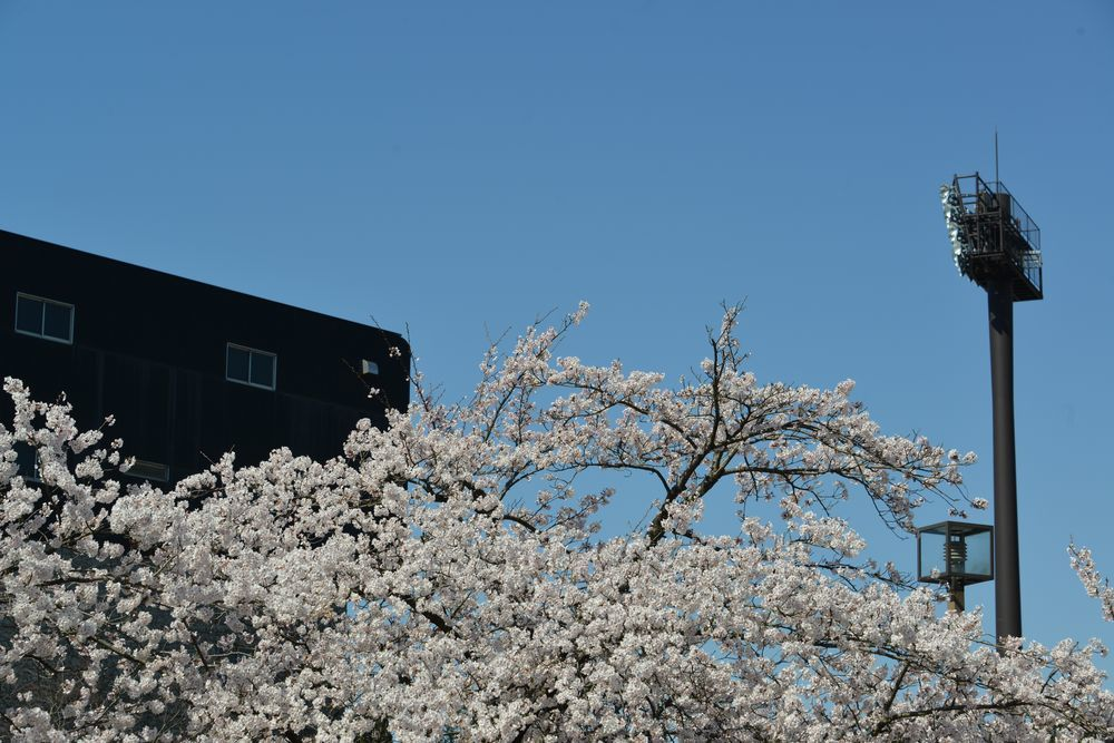 球場周りの桜-4