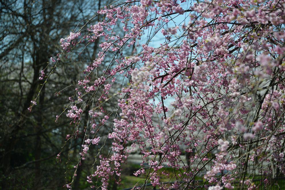 球場周りの桜-5