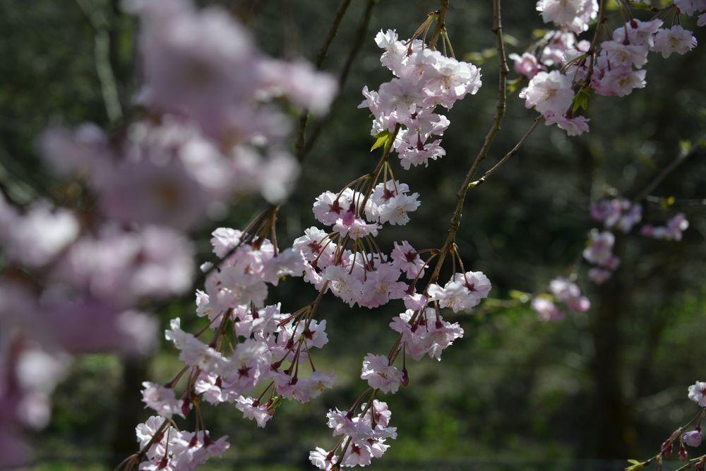 球場周りの桜-6