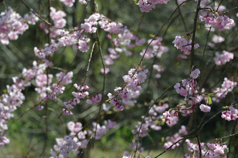 球場周りの桜-7