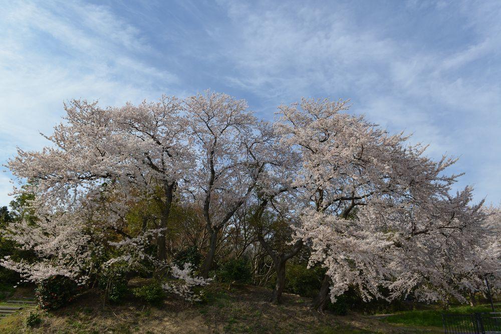 矢作の桜-1